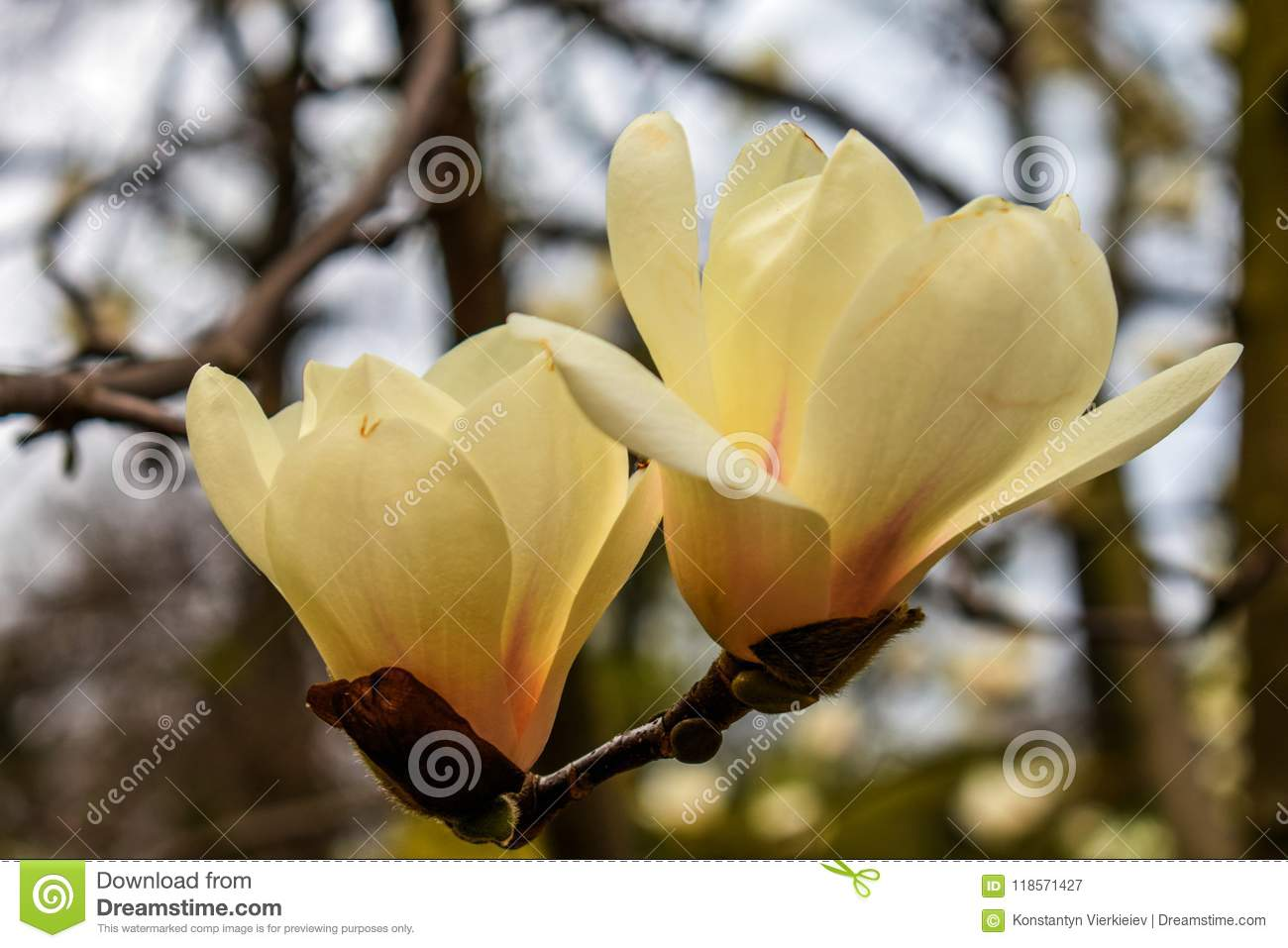 Magnolia - a tree of amazing beauty with a unique aroma