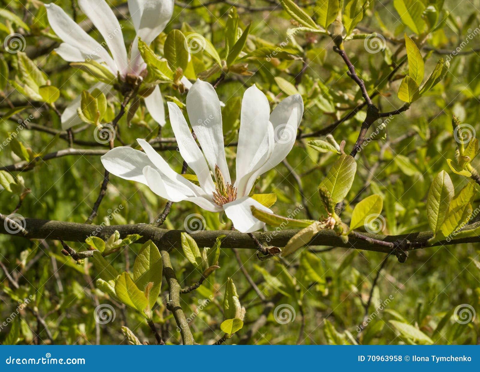 White flower magnolia Kobus