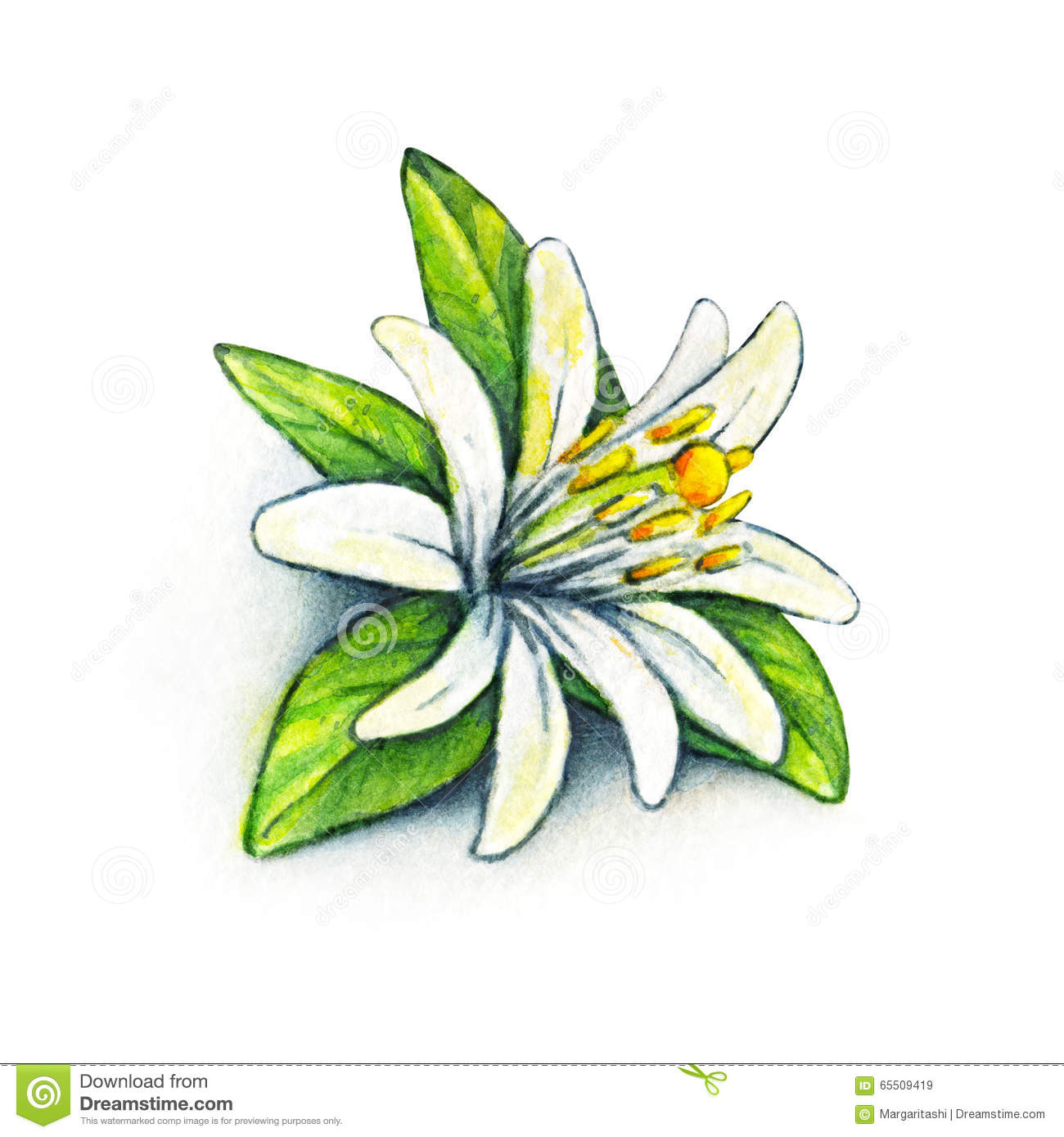 white flower orange fruit with green leaves orange blossom on a