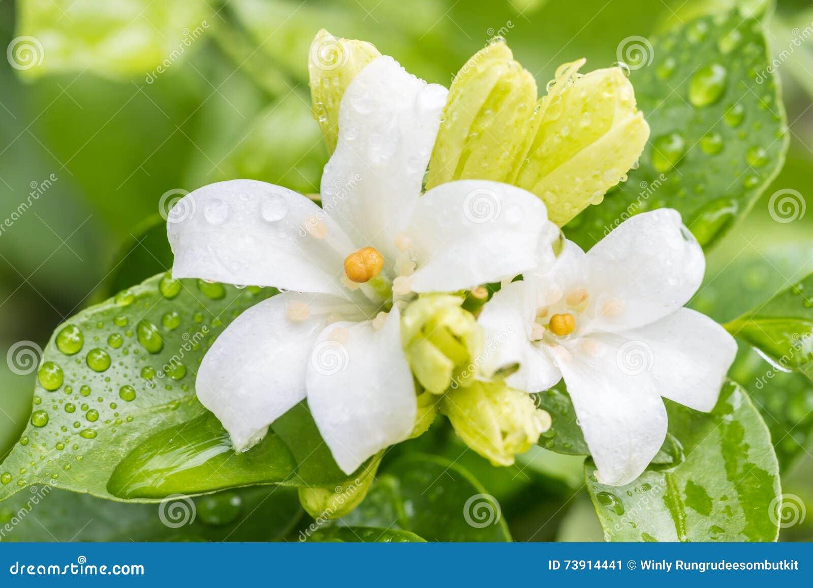 White Flower Orange Jasmine Flowers Stock Image Image Of