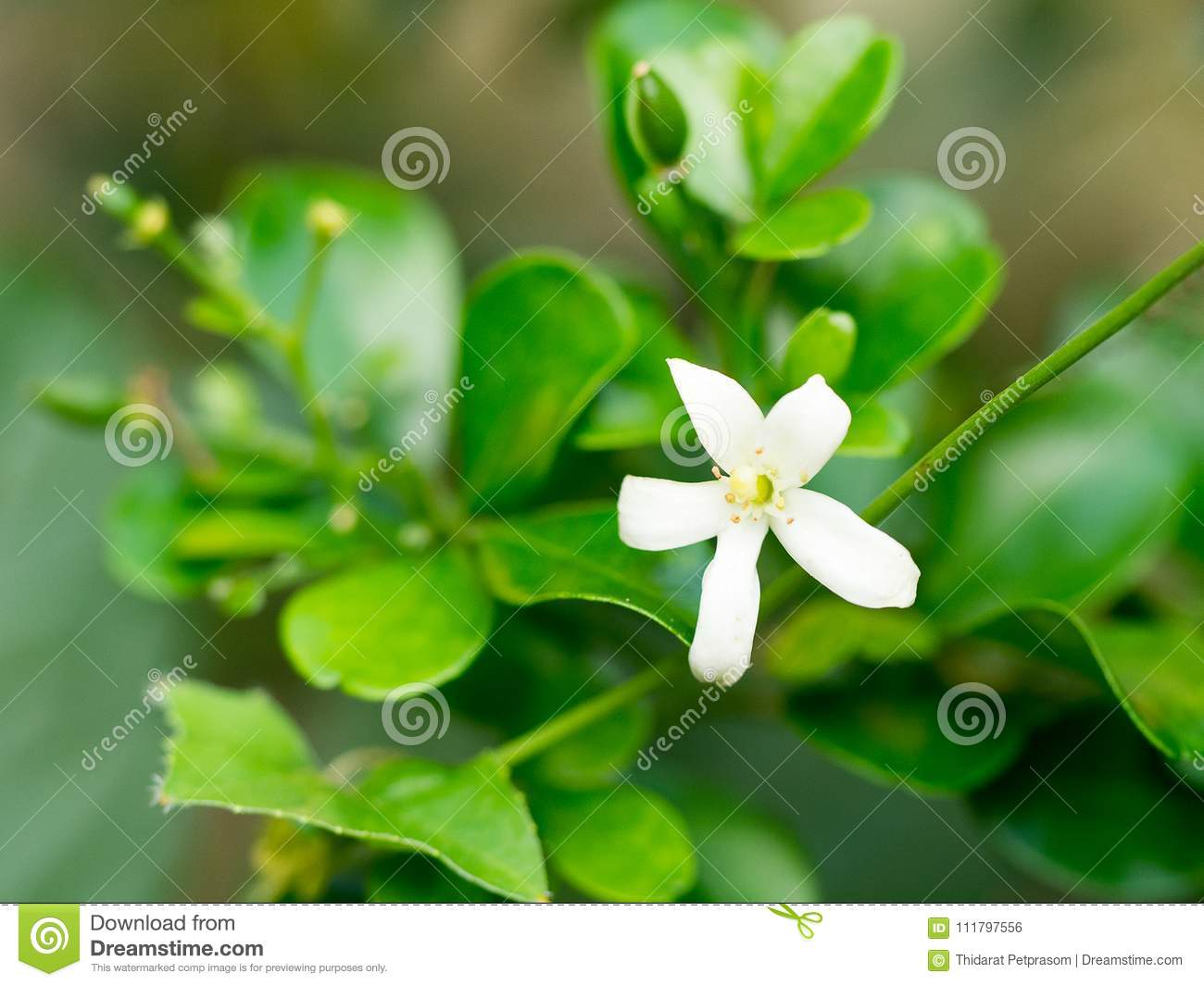White flower orange jessamine flower sweet smell flower for make white flower orange jessamine flower sweet smell flower for make perfume mightylinksfo