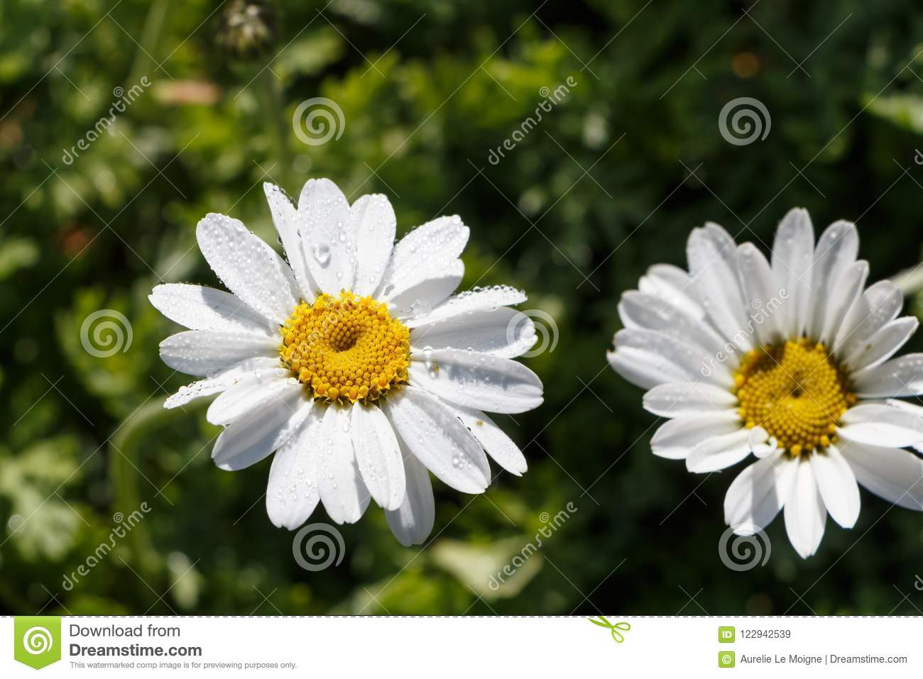 White flower of oxeye daisy stock image image of stem flower download white flower of oxeye daisy stock image image of stem flower 122942539 mightylinksfo