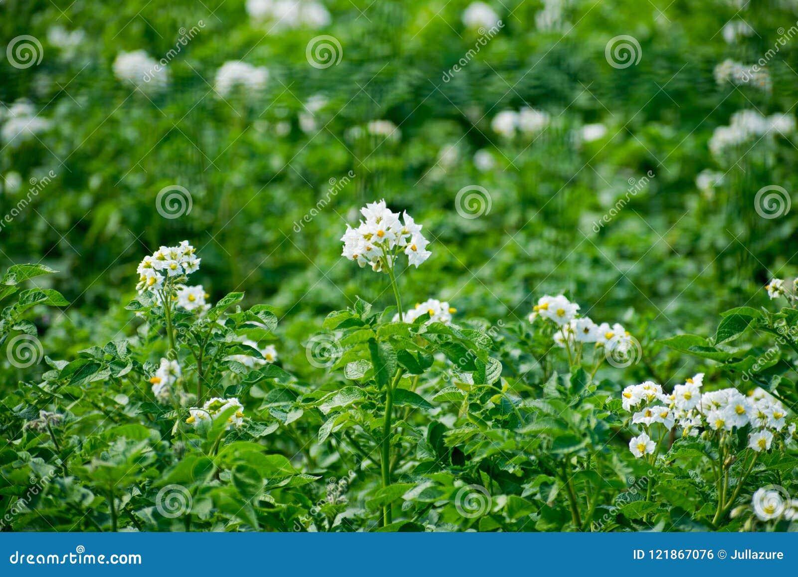 White flower of potato plant potato bushes with flowering close up white flower of potato plant potato bushes with flowering close up mightylinksfo