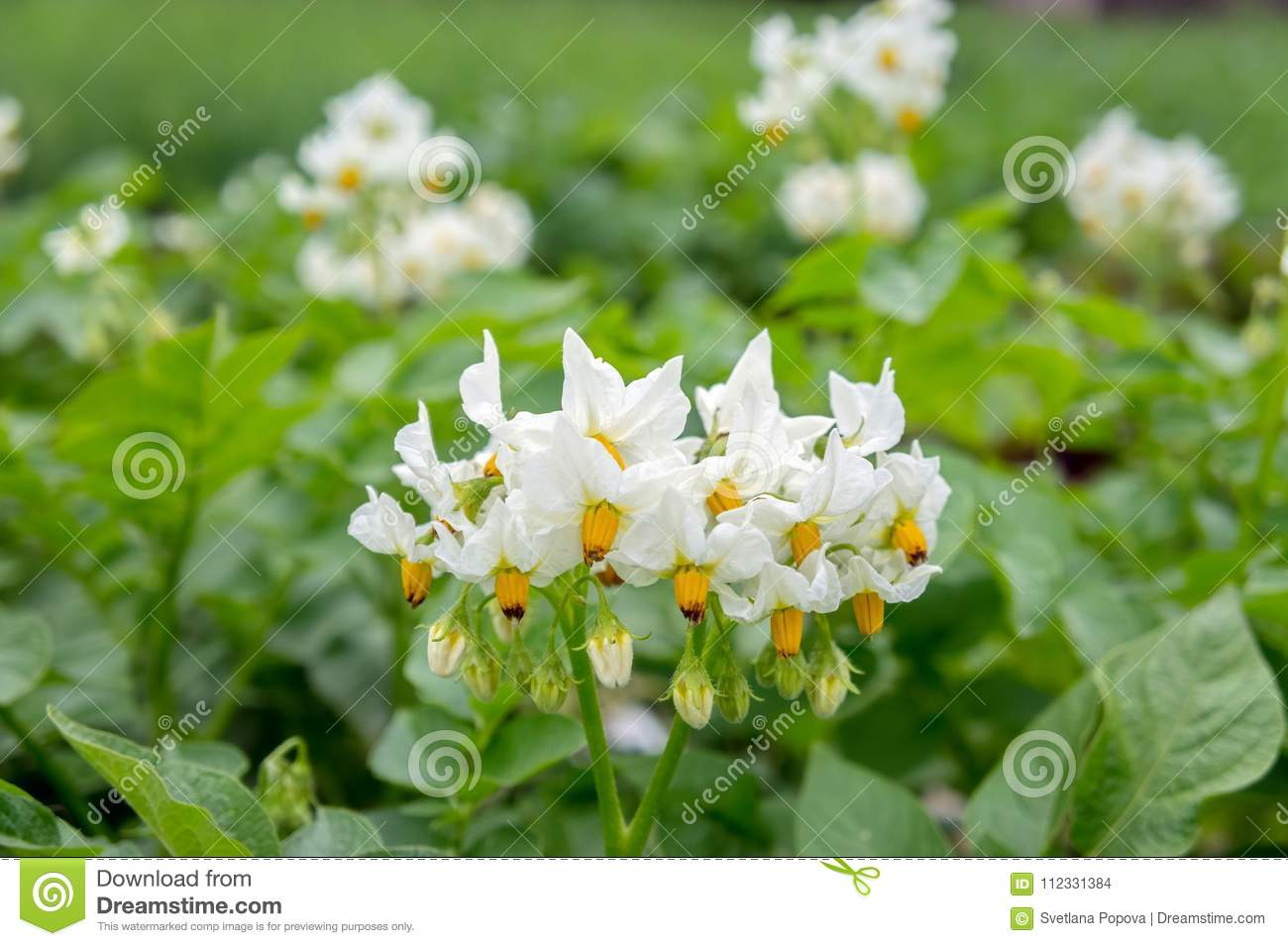 White Flower Of A Potato On A Vegetable Plantation In A Kitchen