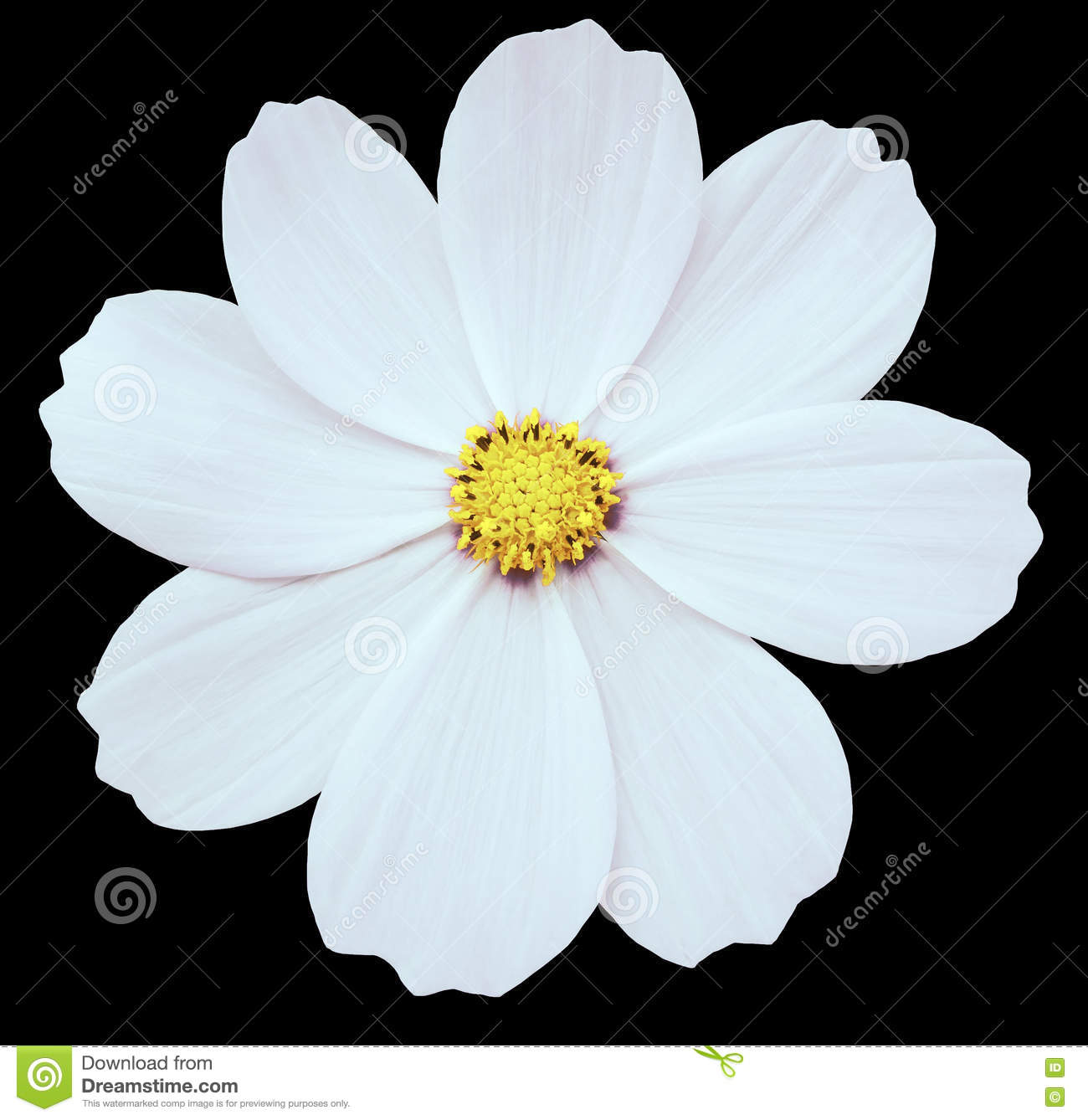 White Flower Primula Black Isolated Background With Clipping Path