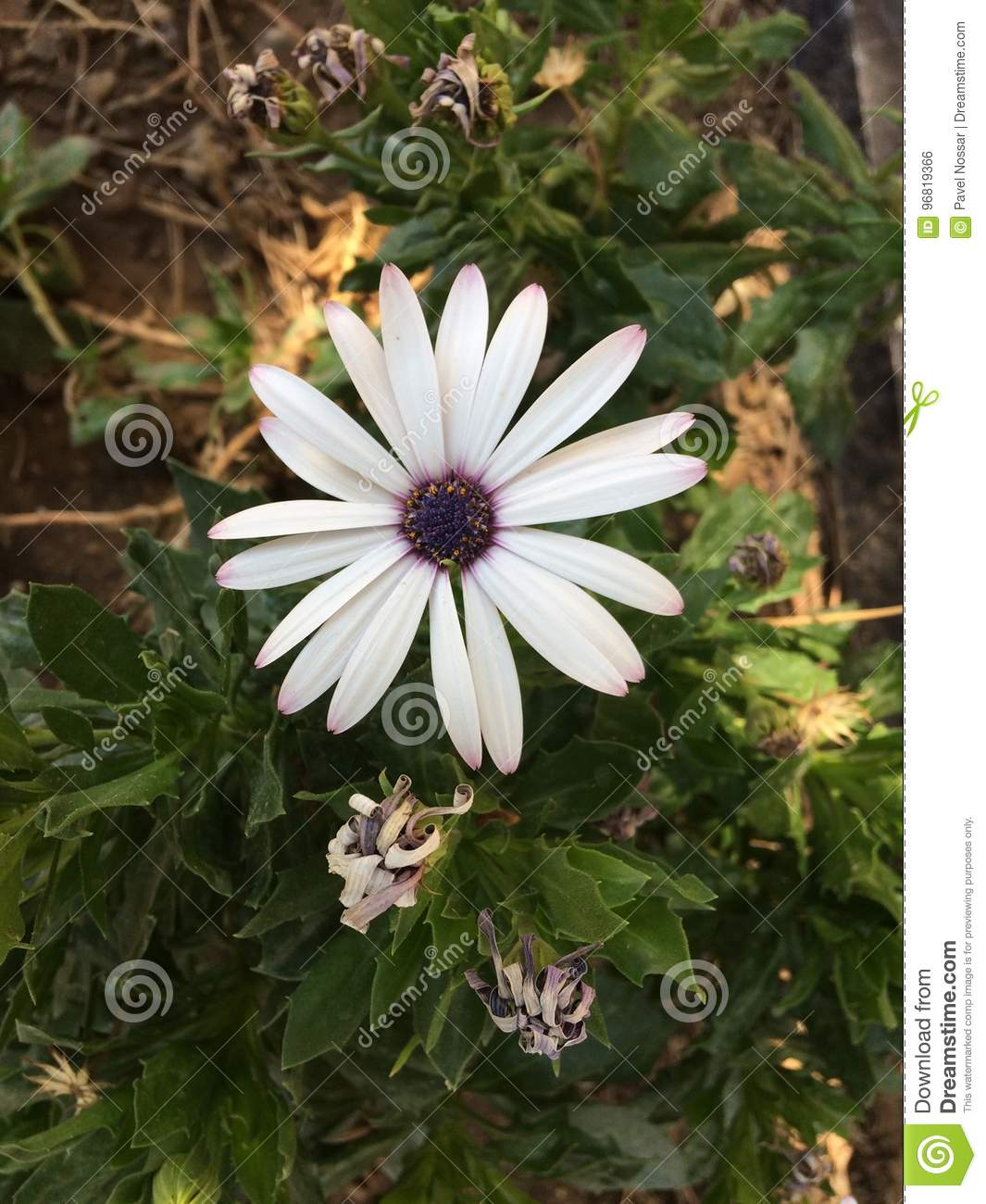 White Flower With Purple Center Stock Photo Image Of Flora Border