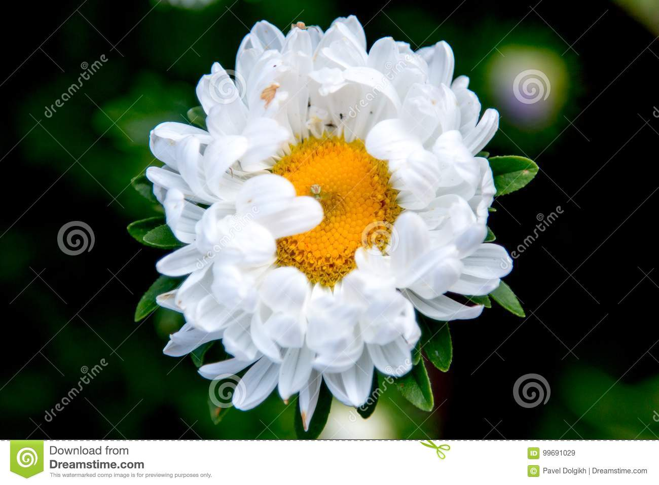 White Flower With Spider In The Center Stock Image Image Of Center