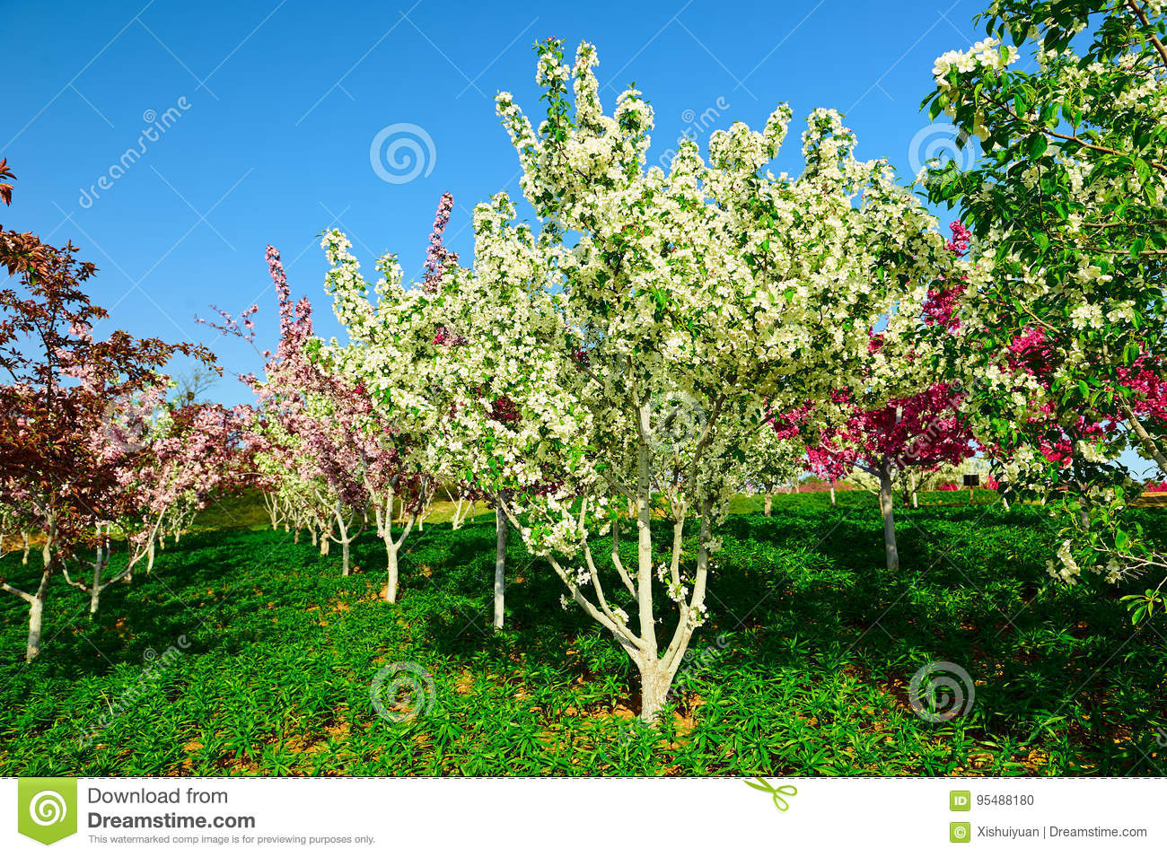 The White Flower Trees Stock Photo Image Of Fields Chinese 95488180