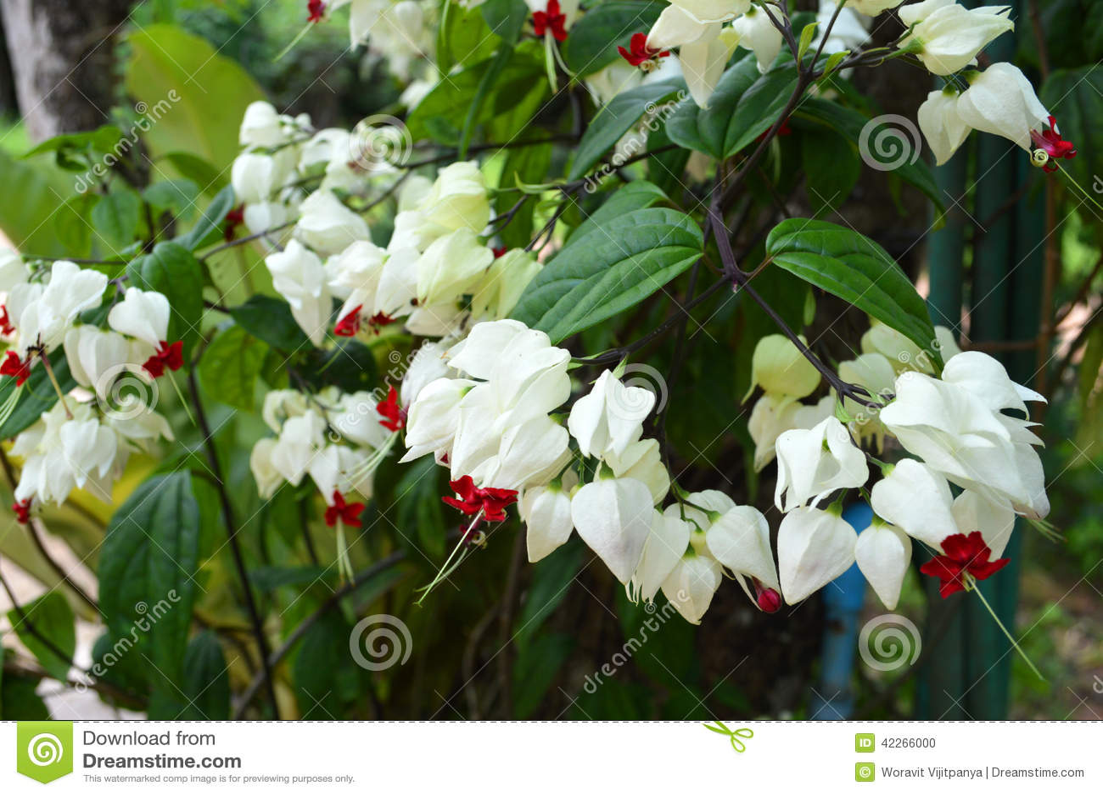 White Flower Vines Stock Photo Image Of Nile Flora 42266000