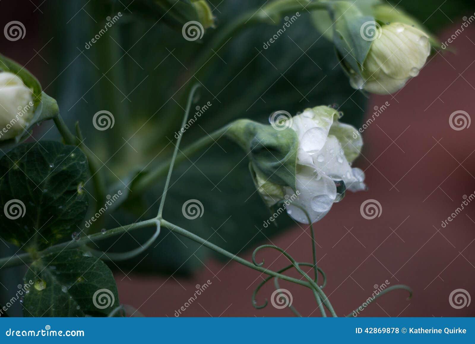 White Flower Water Drops