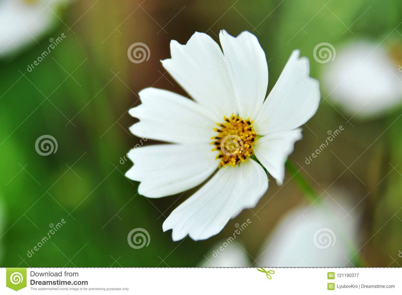 White Flower With Yellow Center In The Garden With Blurred