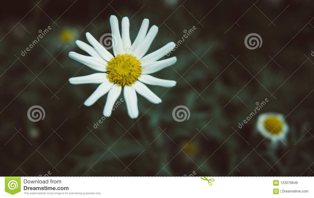White Flower With Yellow Center With More Flowers In Background