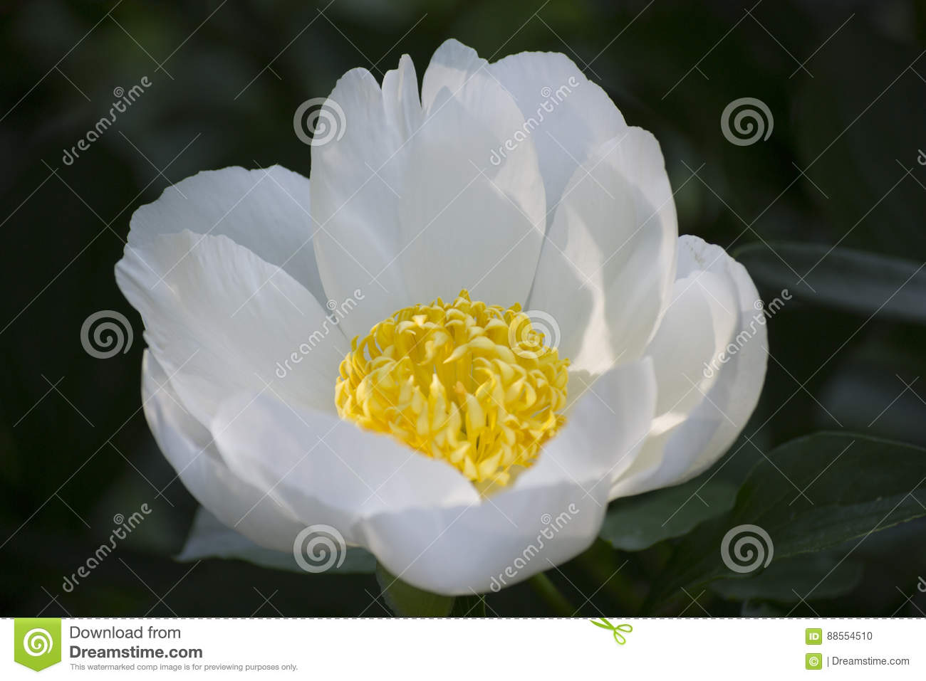 White flower with yellow centre stock photo image of summer white flower with yellow centre mightylinksfo