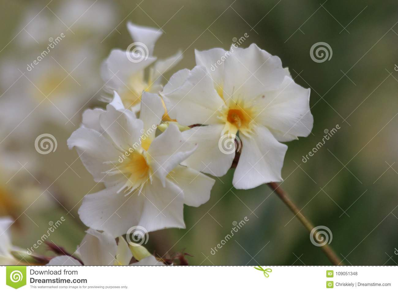 White Flower With Yellow Centre Stock Photo Image Of Purposes