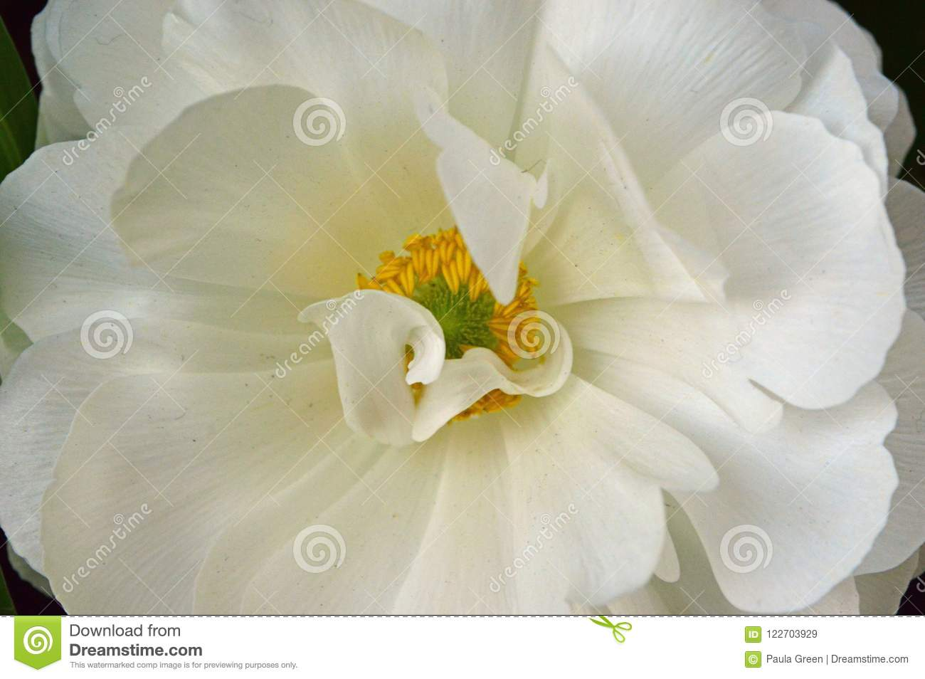 White Flower With Yellow Centre Stock Image Image Of Green Flower