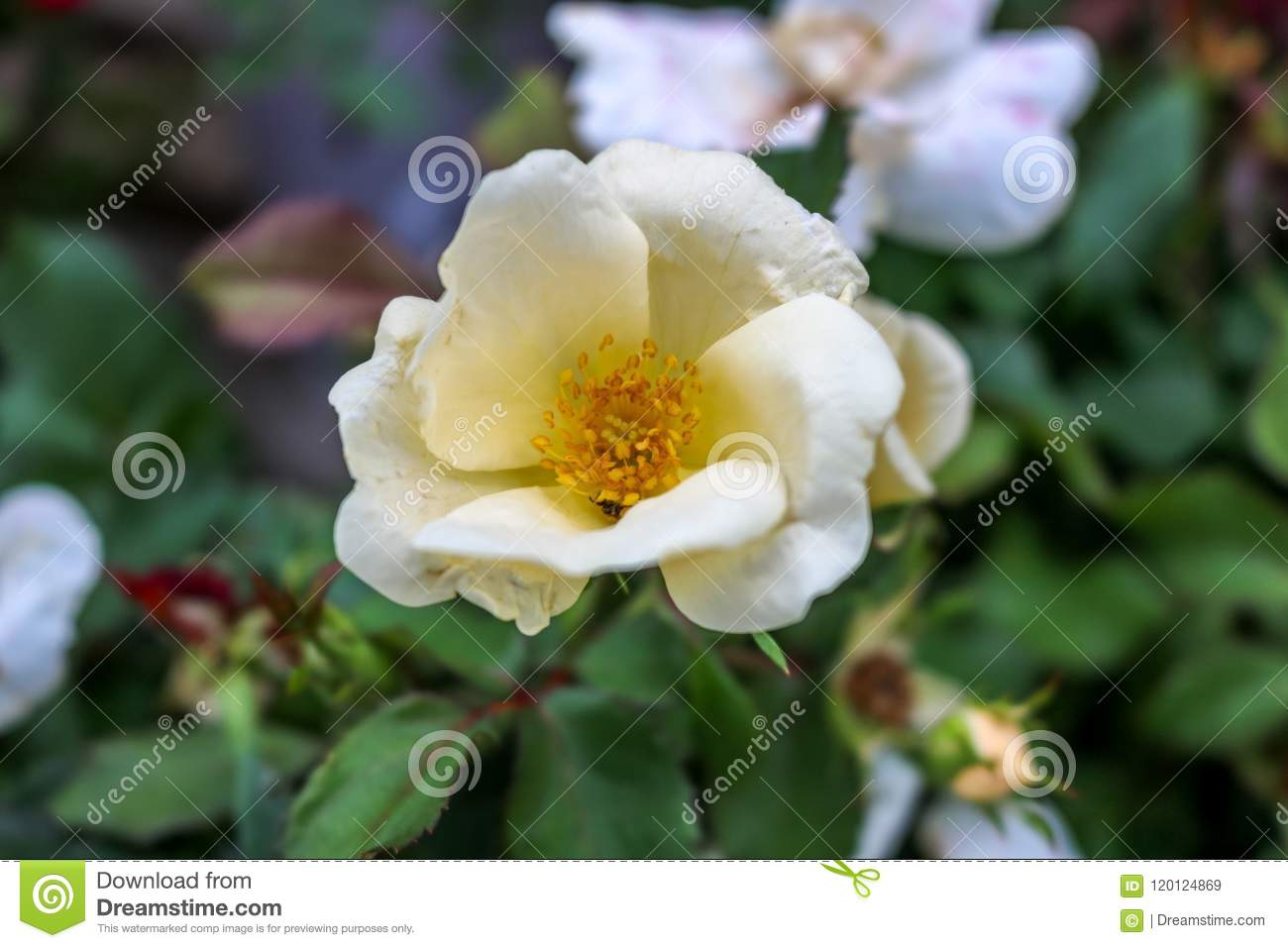 White Flower With Yellow Stock Image Image Of Blurry 120124869