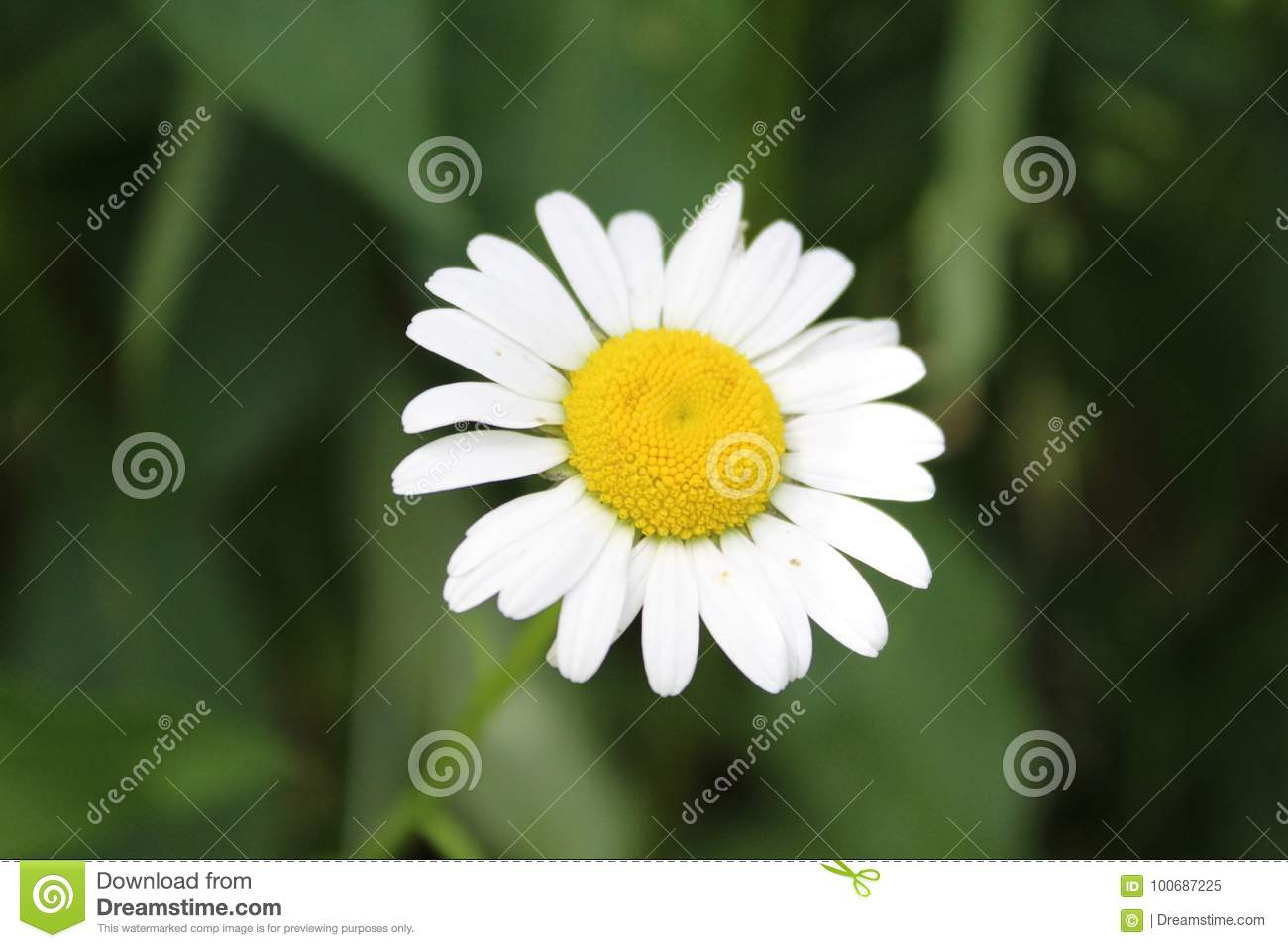 White Flower With Yellow Middle With Green Background Stock Image