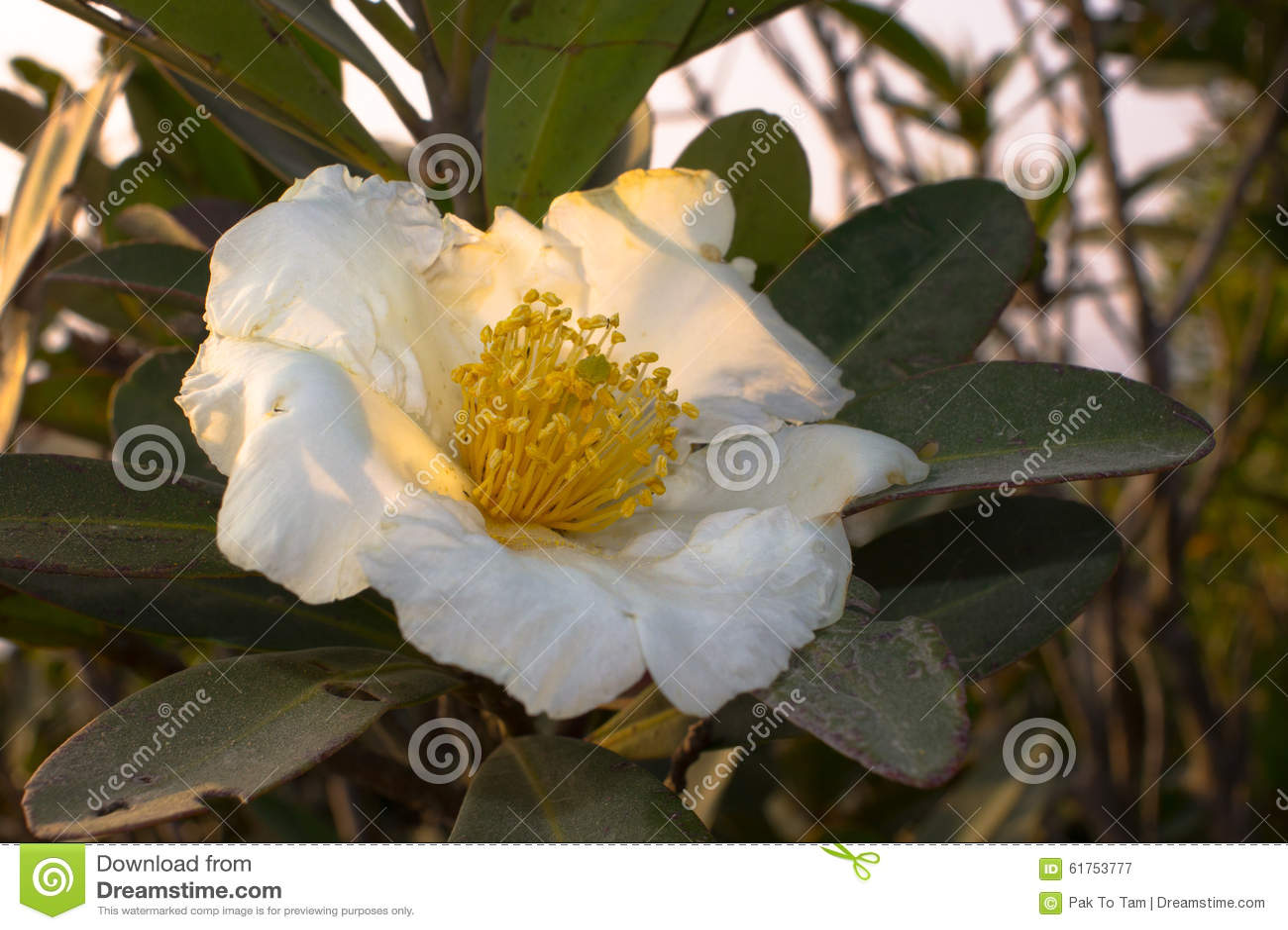 White flower with yellow stamen in backlight stock image image of download white flower with yellow stamen in backlight stock image image of nature spring mightylinksfo