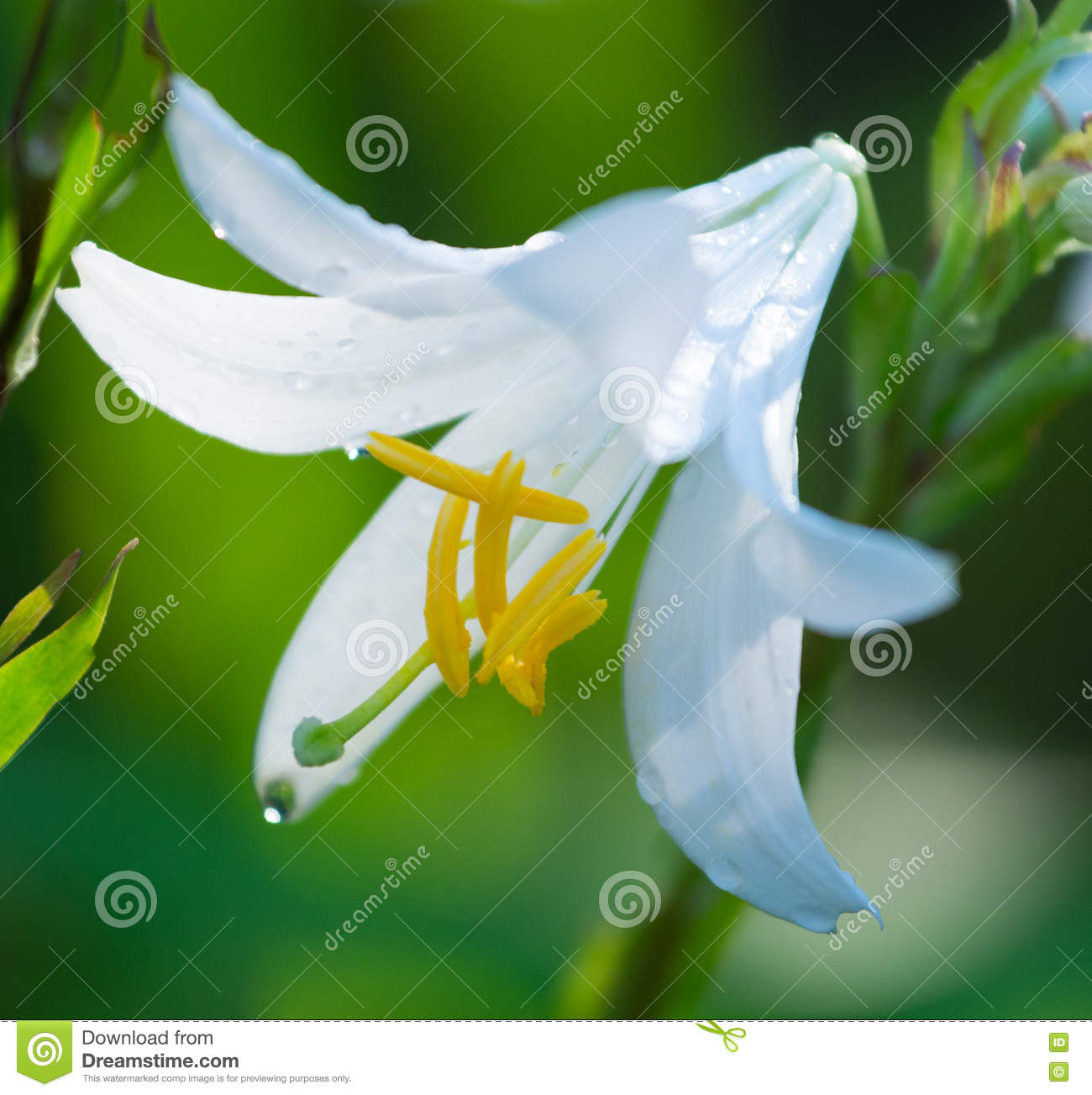 White flower with yellow stamen stock image image of background download comp mightylinksfo