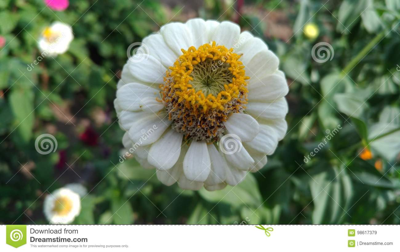 White Flower With Yellow Stamens Stock Image Image Of Green Bush