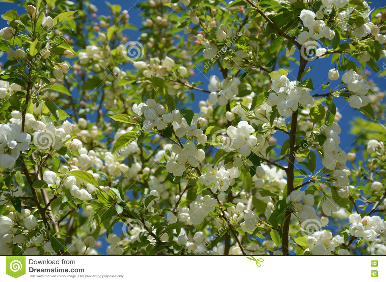 White Flowering Crab Apple Blossoms Stock Image Image Of Flora