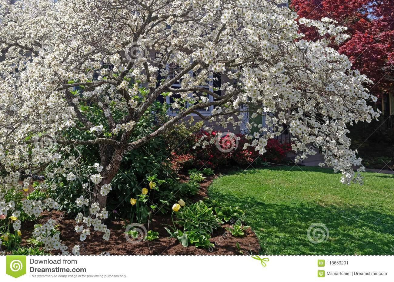 White Flowering Dogwood In Front Yard Stock Image Image Of Flower