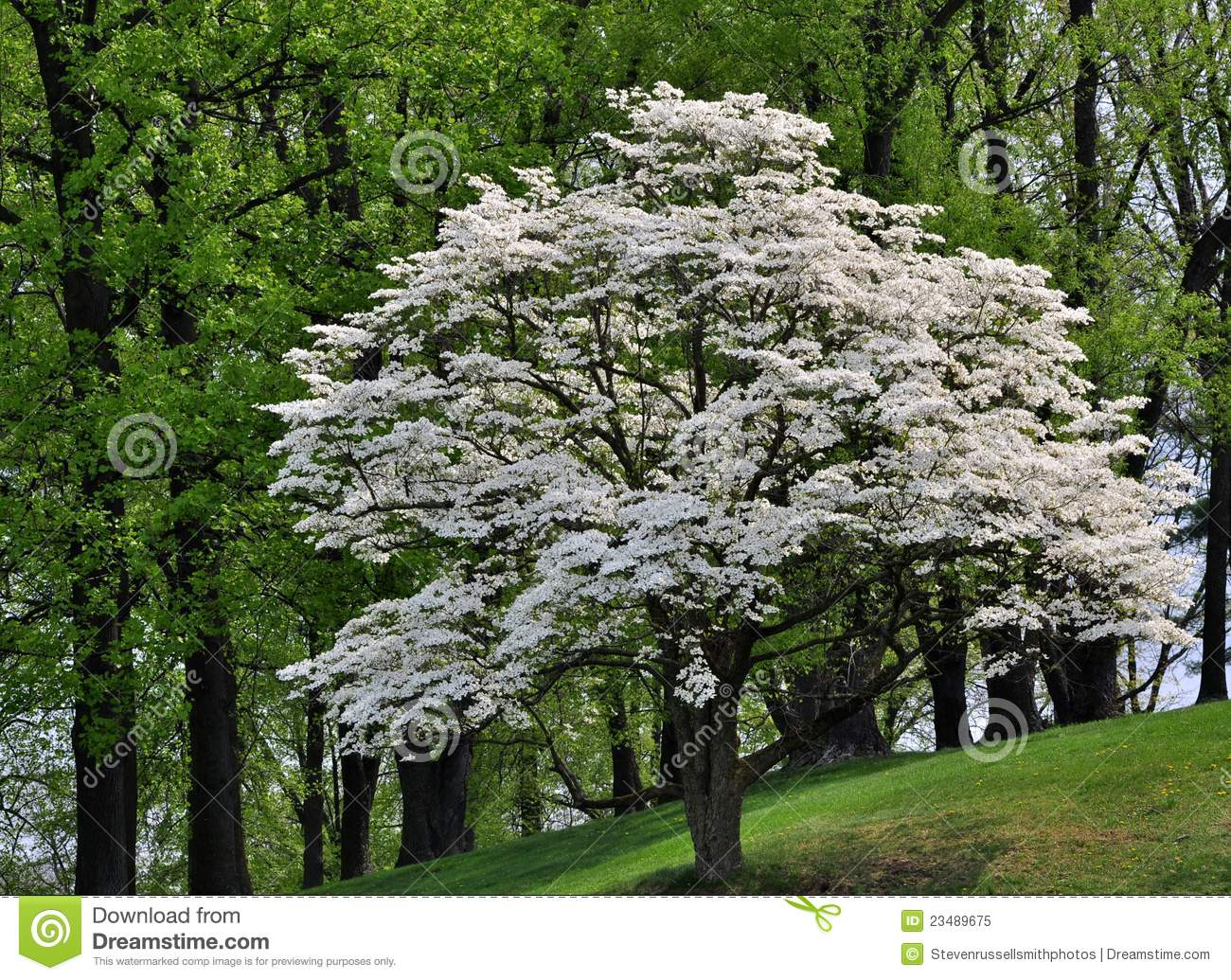 White flowering dogwood tree cornus florida stock image image of download comp mightylinksfo