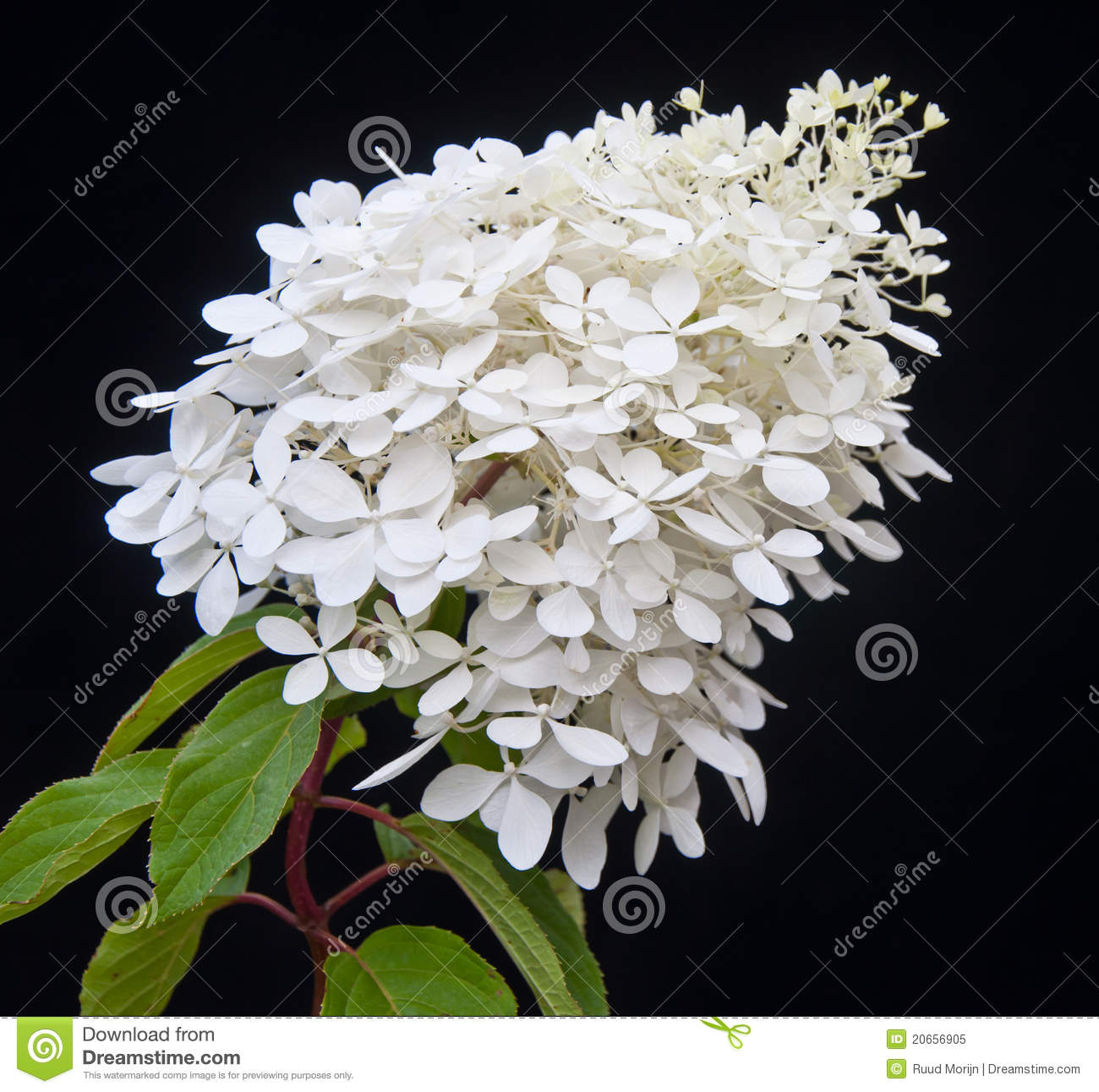 white flowering hydrangea paniculata phantom plant royalty free stock photo image 20656905. Black Bedroom Furniture Sets. Home Design Ideas