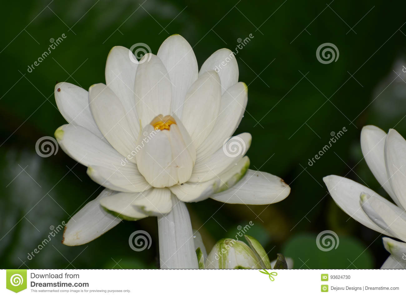 White Flowering Lotus Flower Blossom In A Pond Stock Photo Image