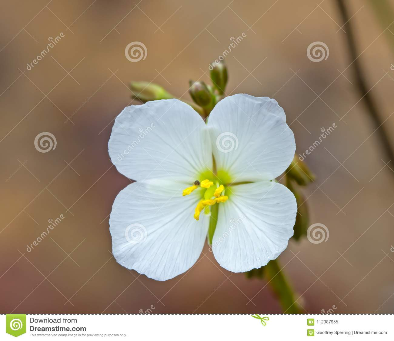 White flowering mustard plant stock image image of destination white mustard plant flower with yellow stamen and four petals mightylinksfo