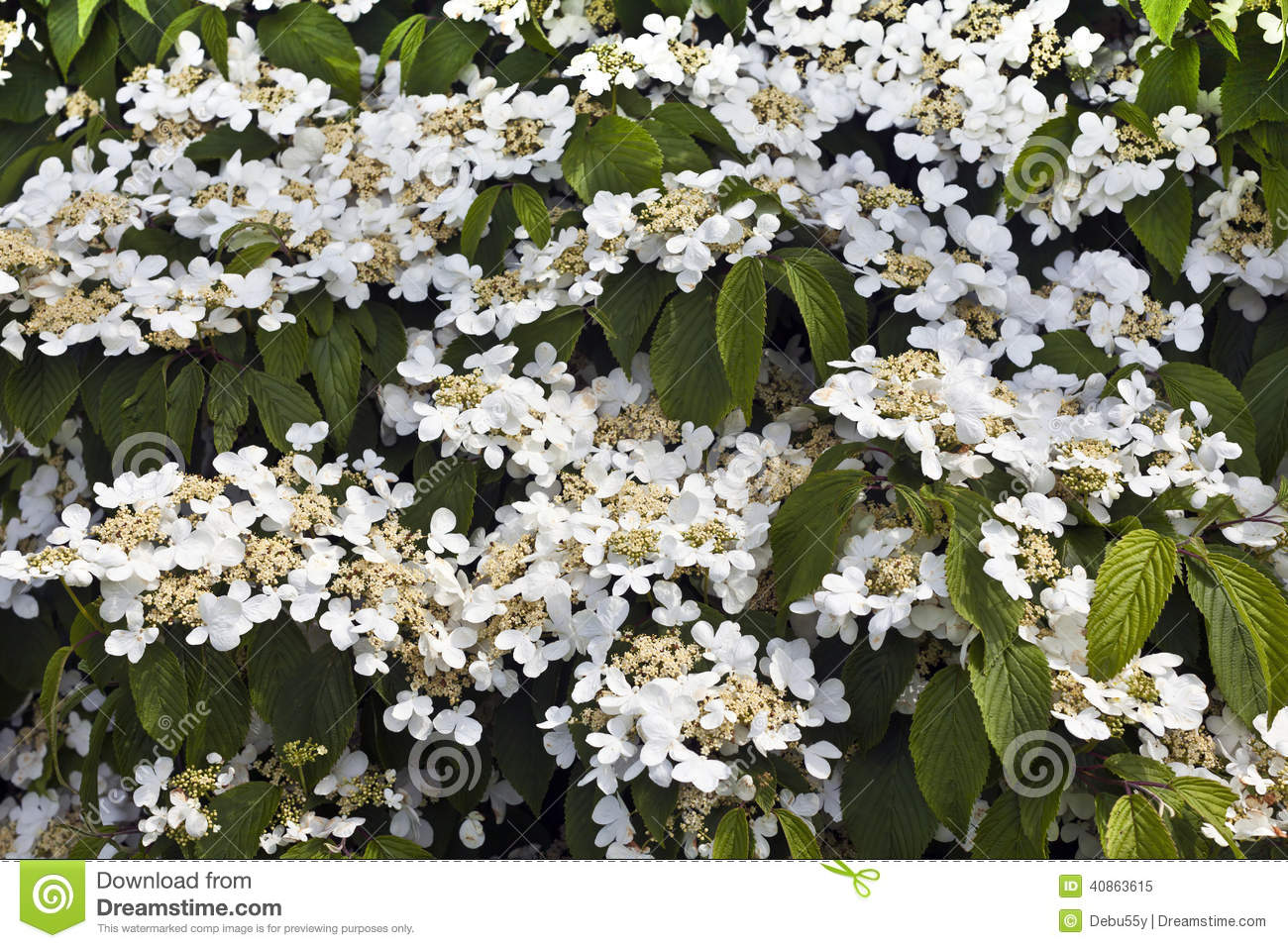 White flowering shrub stock image image of botany for White flowering bush