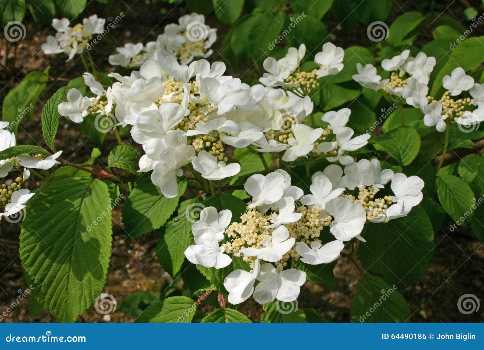 White Lacecap Hydrangea Flowers Stock Photo Image Of Garden