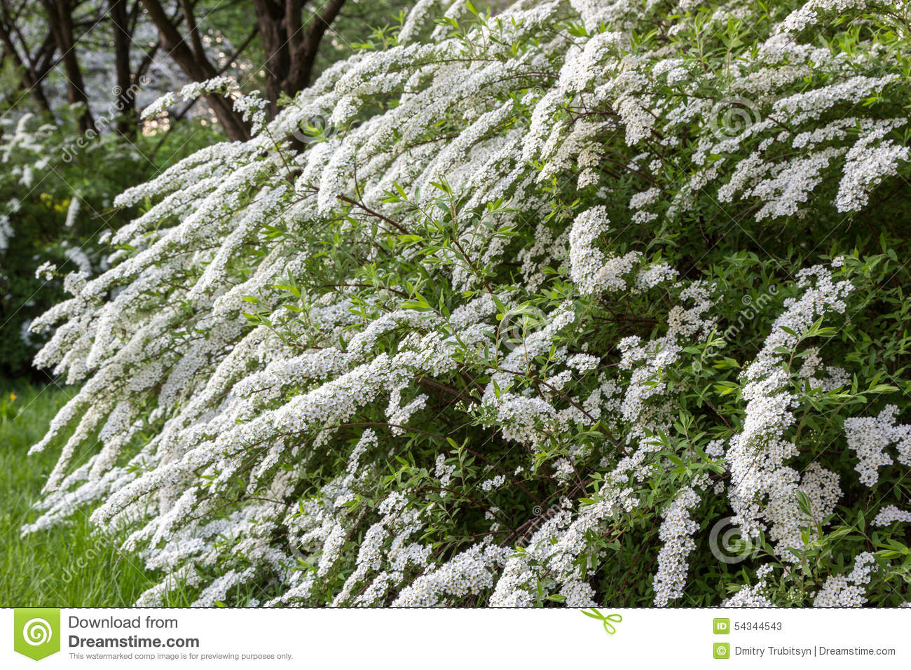 White flowering shrub stock image image of garth for White flowering bush