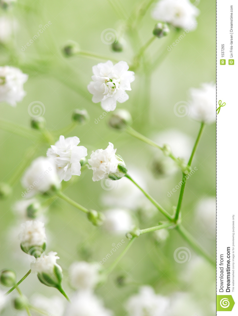 White Flowers Stock Image Image Of Flora Abstract Green 1537265