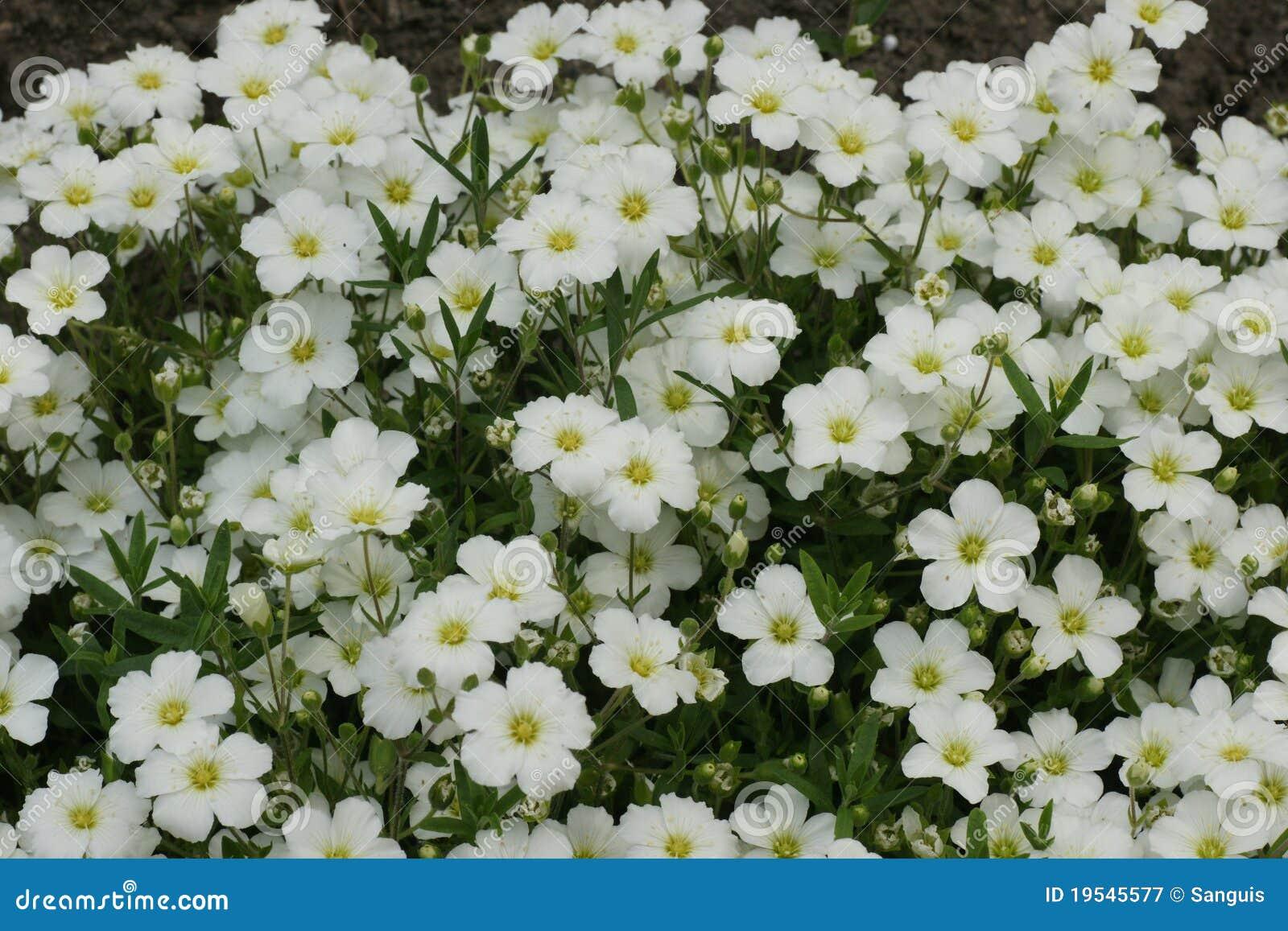 White Flowers Picture. Image  19545577 343f1022e01