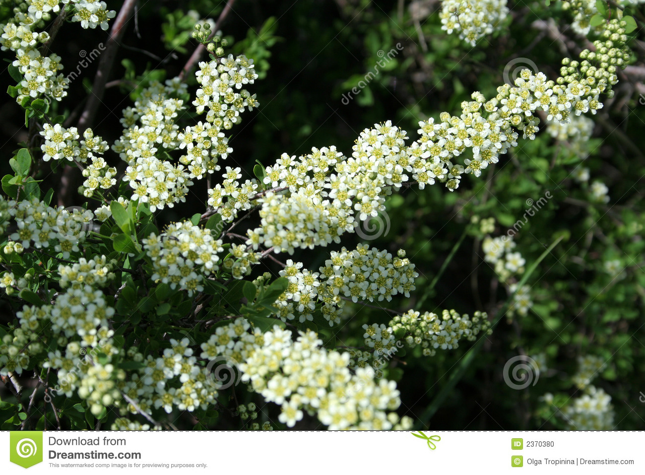 White flowers stock photo image of flower bush inflorescence white flowers mightylinksfo