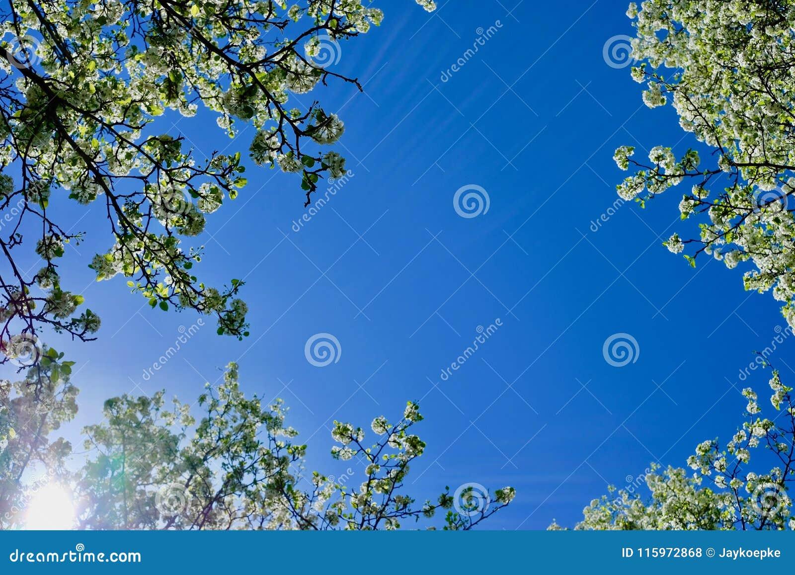 Flowering trees from below with blue sky behind stock photo image flowering trees from below with blue sky behind izmirmasajfo