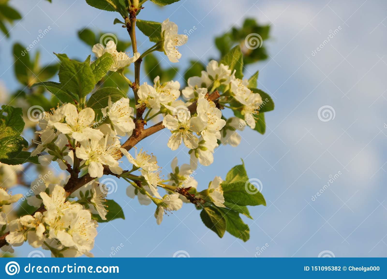 White flowers of an apple tree on a branch against a blue sky, selective focus, close-up