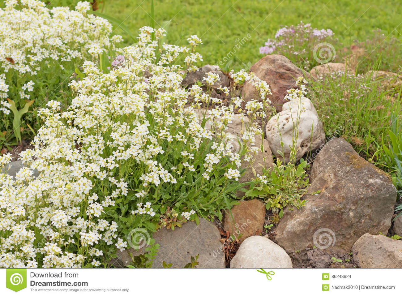 White Flowers Arabis Or Rockcress On A Rocky Hill In The Garden