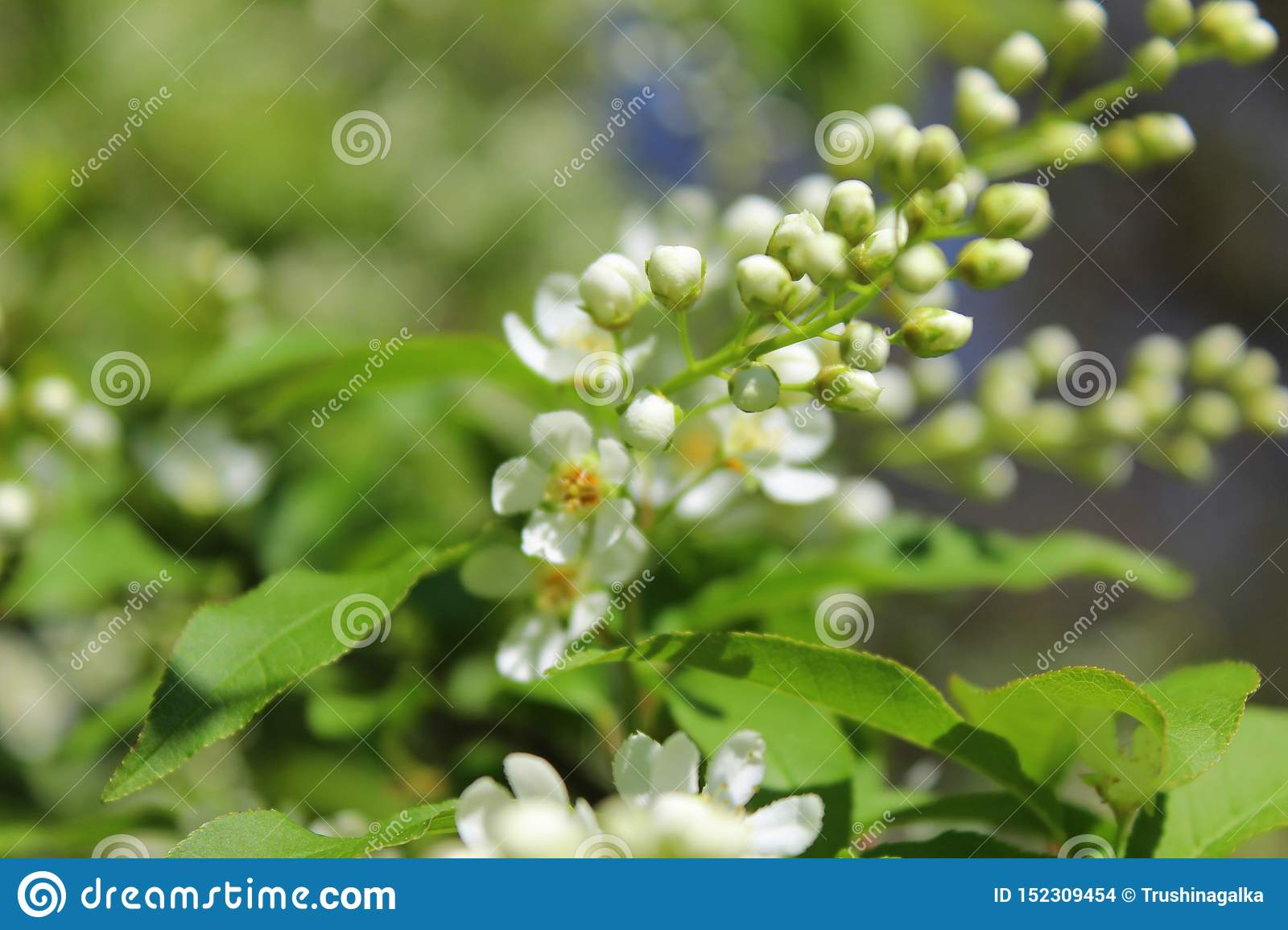 White flowers bird-cherry tree in the garden against green leaves