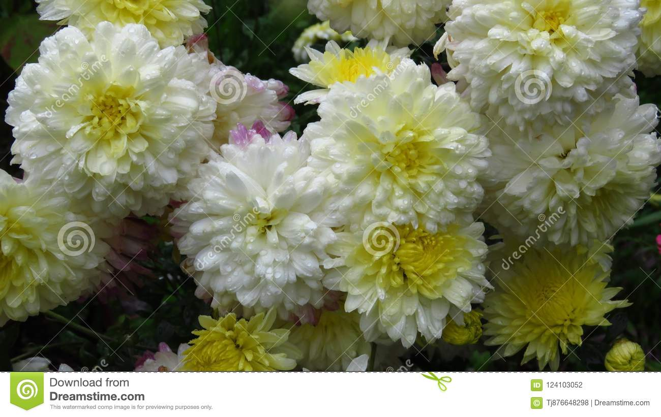 White flowers that bloom in august september autumn two toned white flowers that bloom in august september autumn two toned white and mightylinksfo