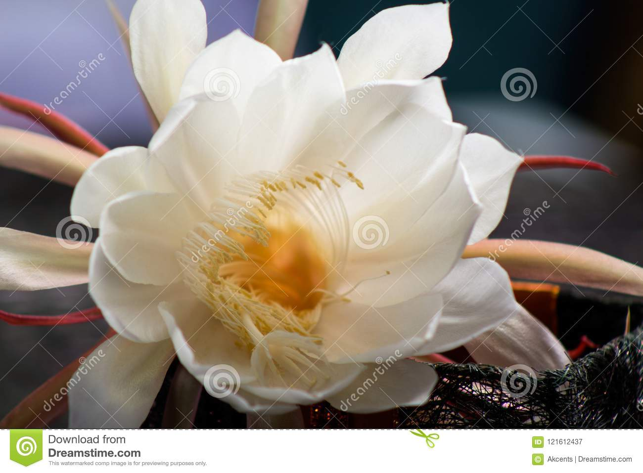 White Flowers That Blooms At Night Only Stock Image Image Of Bloom