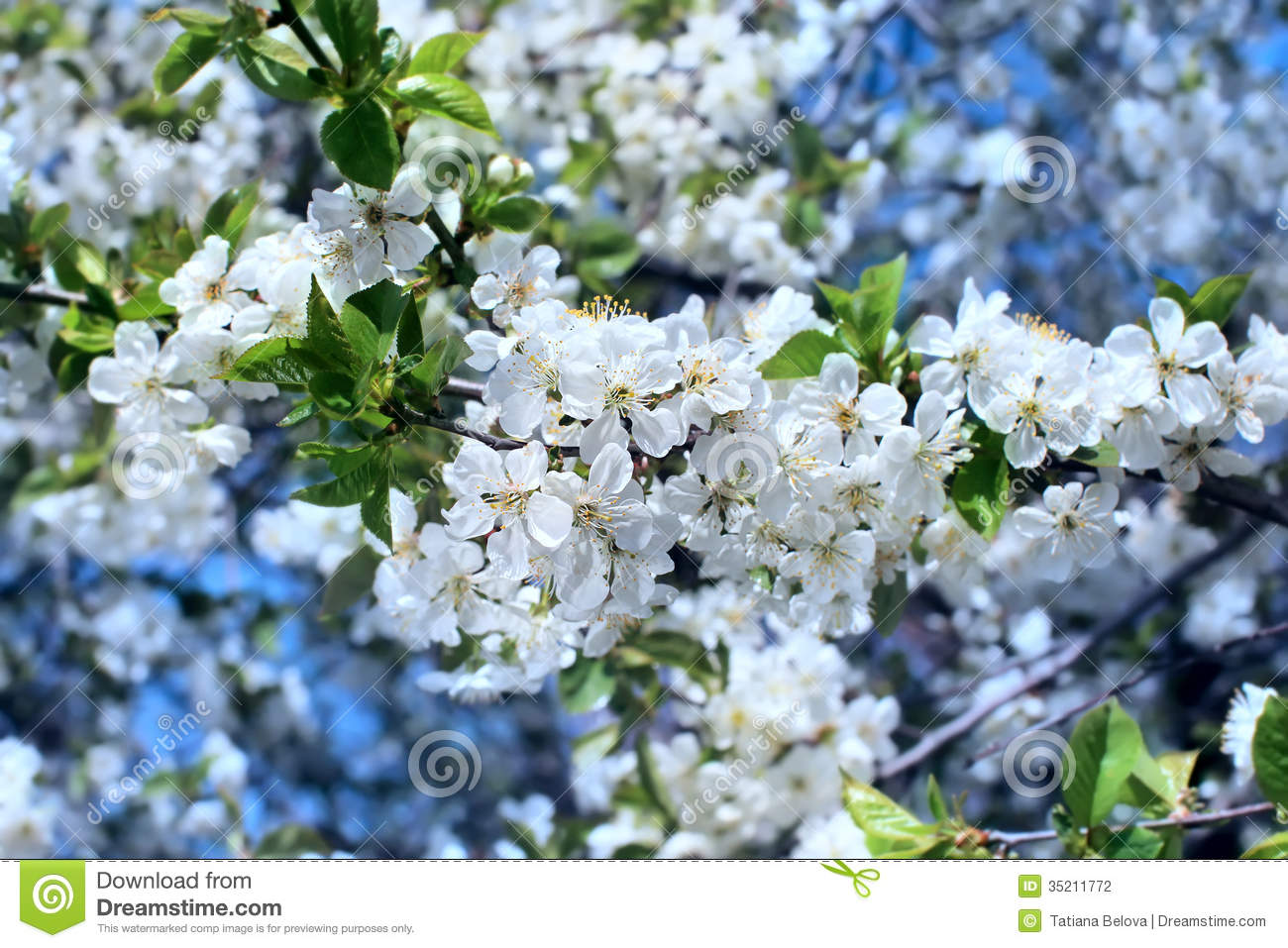 What tree has white blossoms in the spring-5962