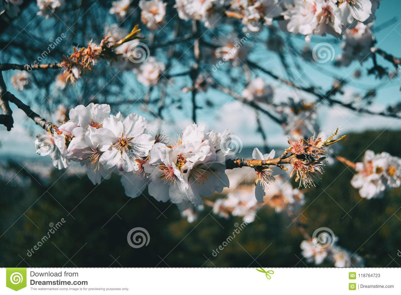White Flowers On The Branch Of A Tree With Blue Sky Background Stock
