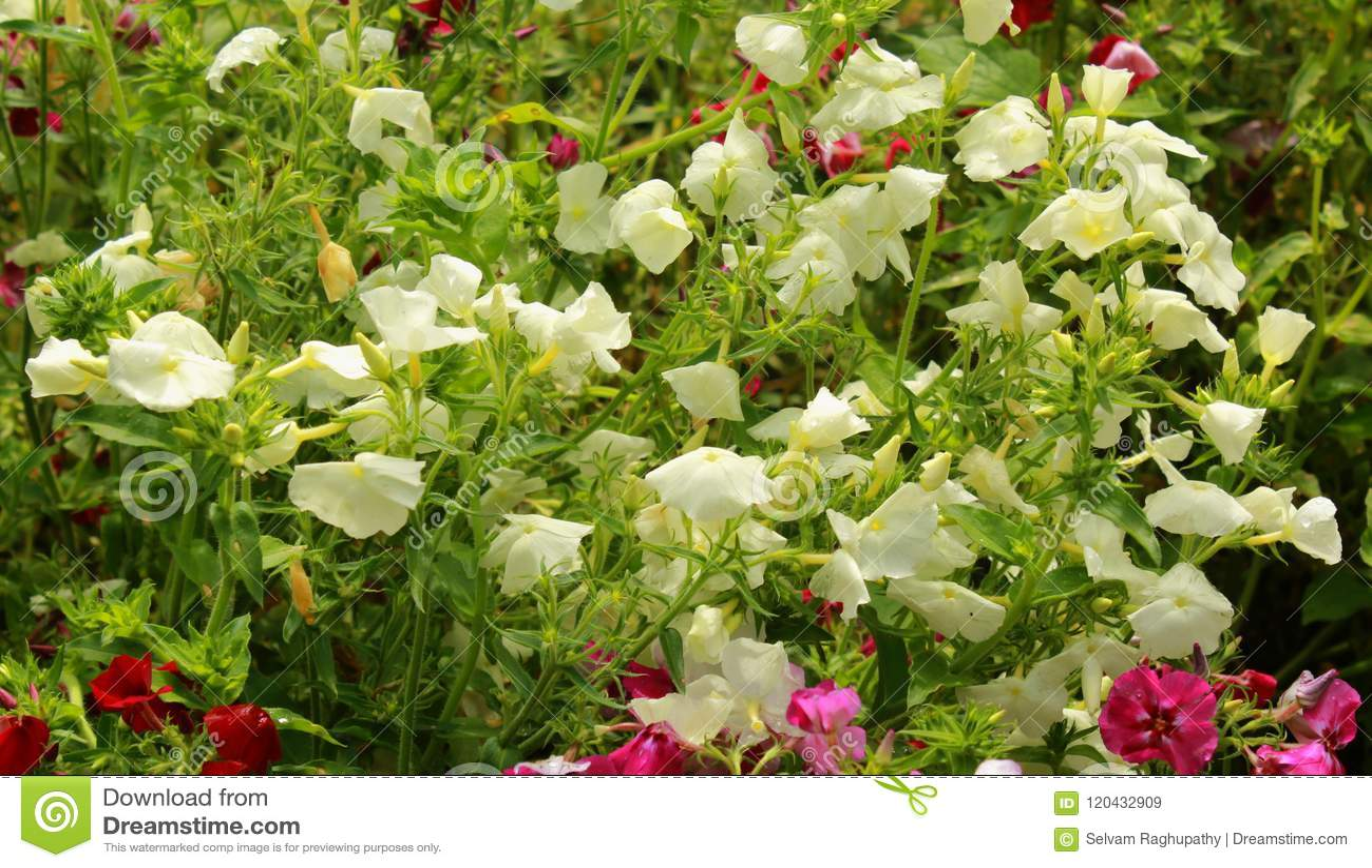 White Flowers In The Bryant Park Kodaikanal Stock Image Image Of