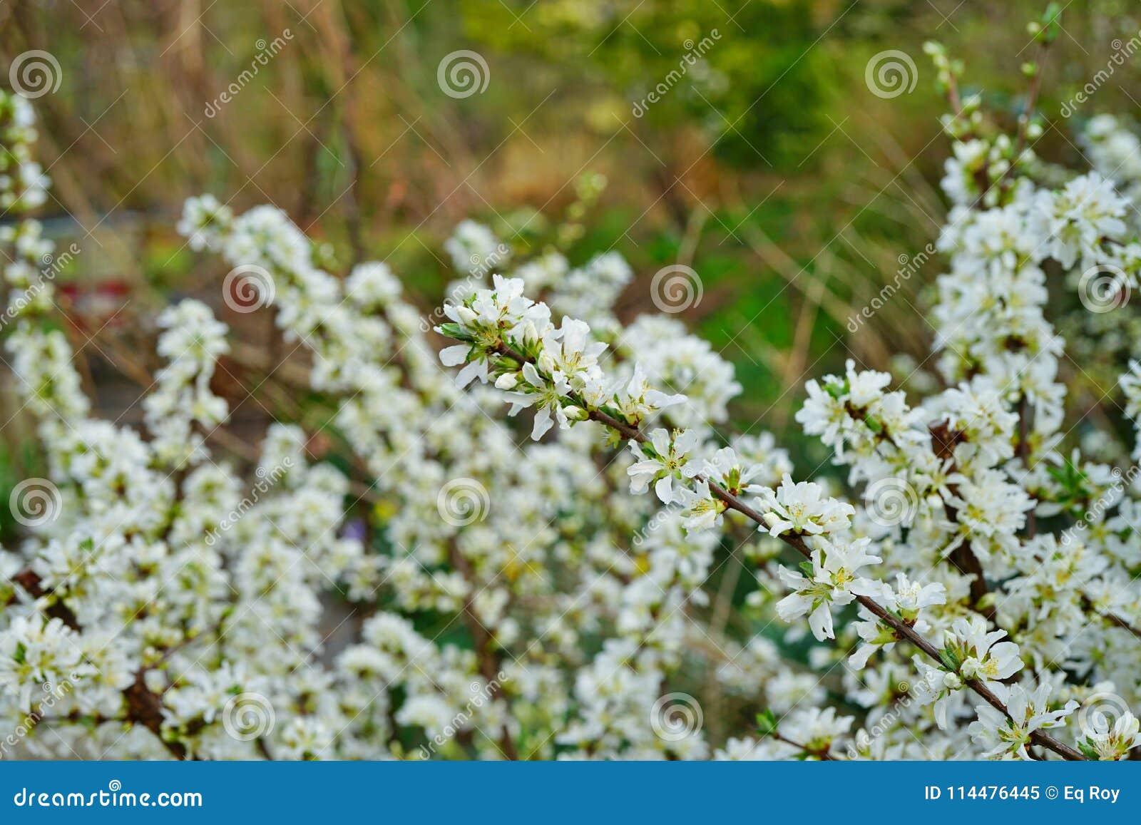 White Flowers Of Bush Cherry Prunus Japonica Stock Image Image Of