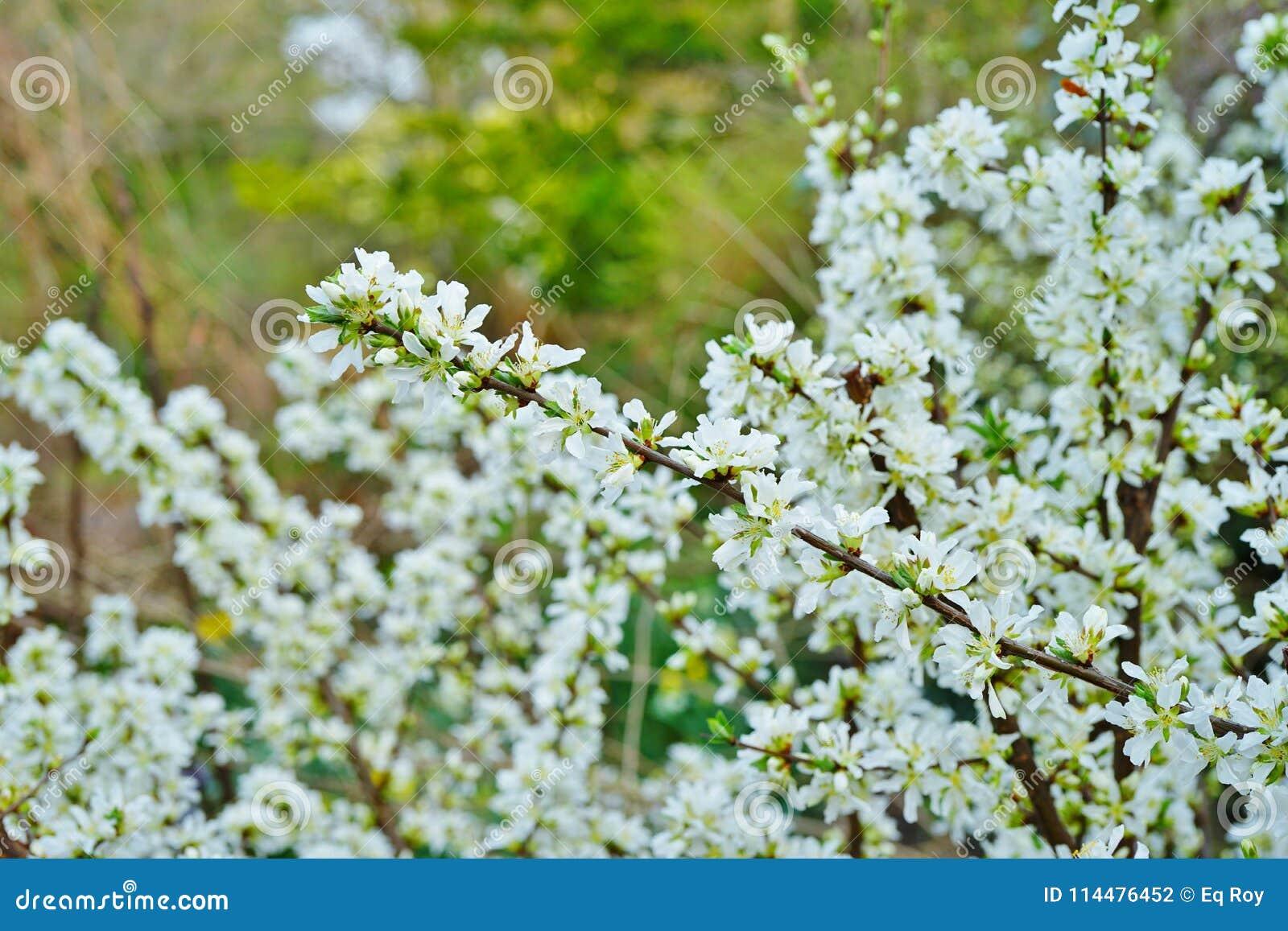 White flowers of bush cherry prunus japonica stock photo image of white flowers of bush cherry prunus japonica mightylinksfo