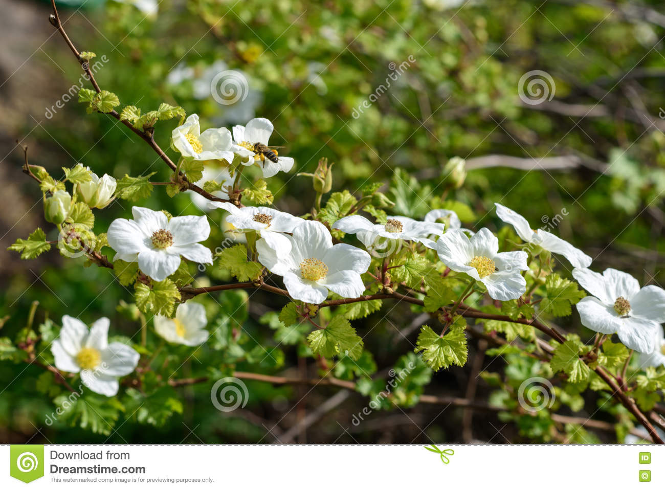 White Flowers In The Bush Stock Photo Image Of Background 70836976