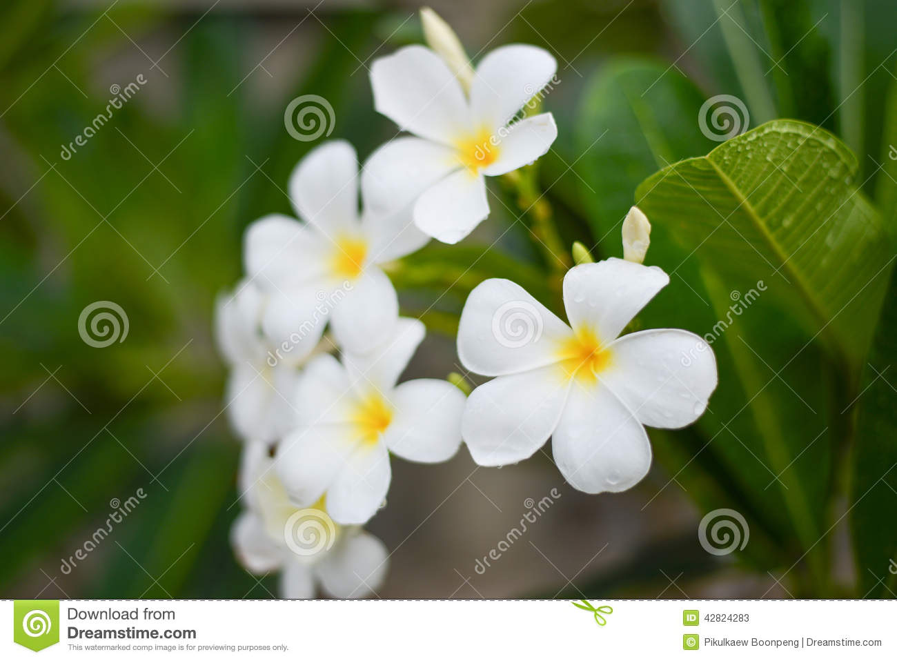 White flowers called leelawadee stock image image of house white flowers called leelawadee mightylinksfo