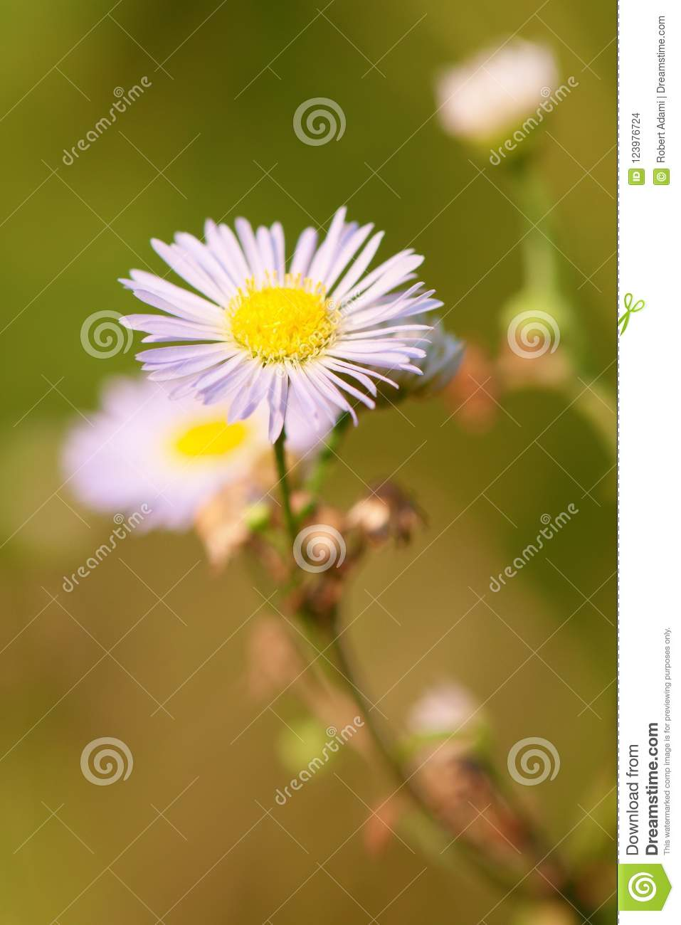 White flowers camomile in the meadow close-up